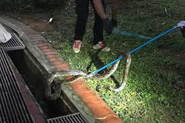 Python bit woman at HDB second storey in Sembawang