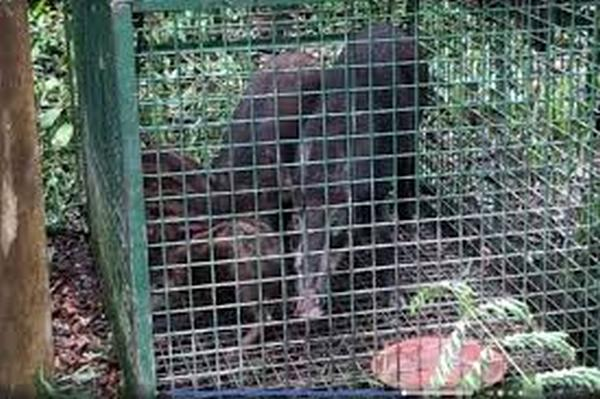 Family of wild boars trapped in illegal cage off Sime Road